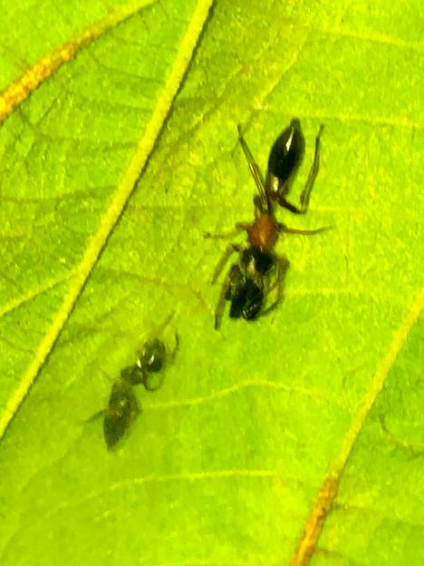 葉っぱの裏で遭遇したアリグモと灰色のアリ - 6