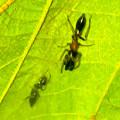 Photos: 葉っぱの裏で遭遇したアリグモと灰色のアリ - 6