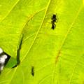Photos: 葉っぱの裏で遭遇したアリグモと灰色のアリ - 7