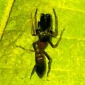 Photos: 葉っぱの裏で遭遇したアリグモと灰色のアリ - 8