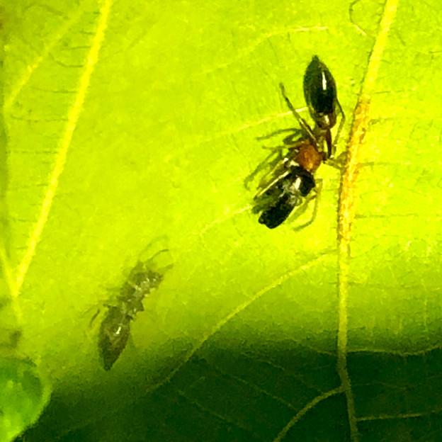 葉っぱの裏で遭遇したアリグモと灰色のアリ - 13