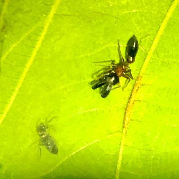 葉っぱの裏で遭遇したアリグモと灰色のアリ - 14