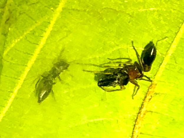 葉っぱの裏で遭遇したアリグモと灰色のアリ - 18