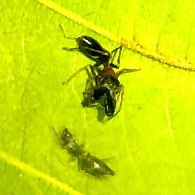 葉っぱの裏で遭遇したアリグモと灰色のアリ - 20