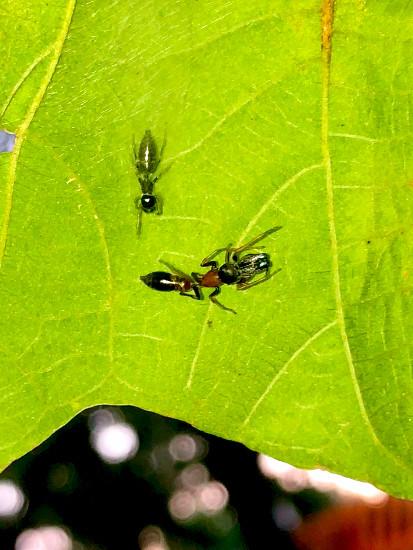 葉っぱの裏で遭遇したアリグモと灰色のアリ - 21