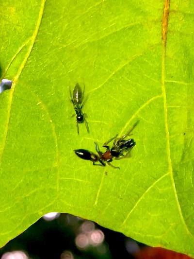 葉っぱの裏で遭遇したアリグモと灰色のアリ - 22
