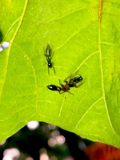 葉っぱの裏で遭遇したアリグモと灰色のアリ - 23