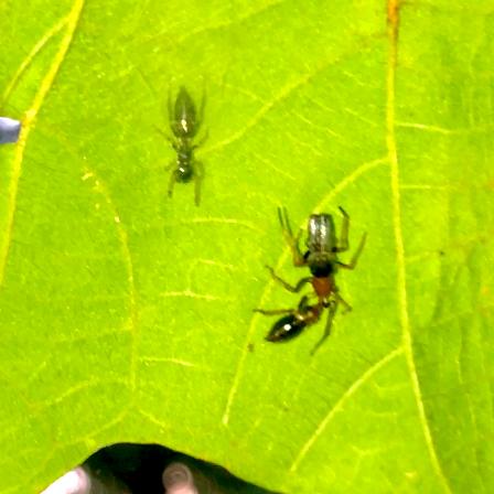 葉っぱの裏で遭遇したアリグモと灰色のアリ - 24