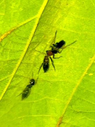 葉っぱの裏で遭遇したアリグモと灰色のアリ - 25