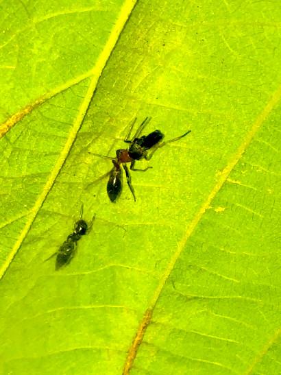 葉っぱの裏で遭遇したアリグモと灰色のアリ - 26
