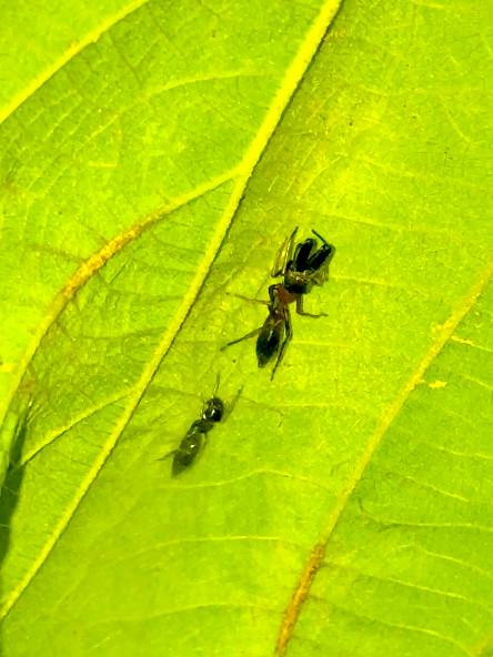 葉っぱの裏で遭遇したアリグモと灰色のアリ - 27