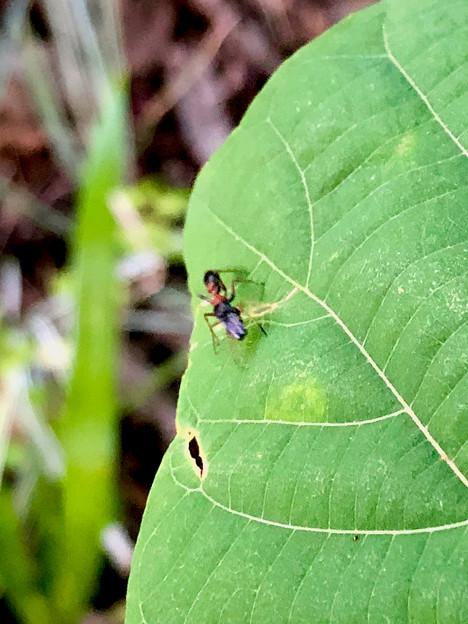 葉っぱの上にいたアリグモ - 20
