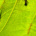 Photos: 葉っぱの裏で遭遇したアリグモと灰色のアリ - 9