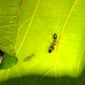 Photos: 葉っぱの裏で遭遇したアリグモと灰色のアリ - 12