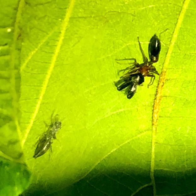 葉っぱの裏で遭遇したアリグモと灰色のアリ - 16