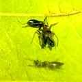 Photos: 葉っぱの裏で遭遇したアリグモと灰色のアリ - 19