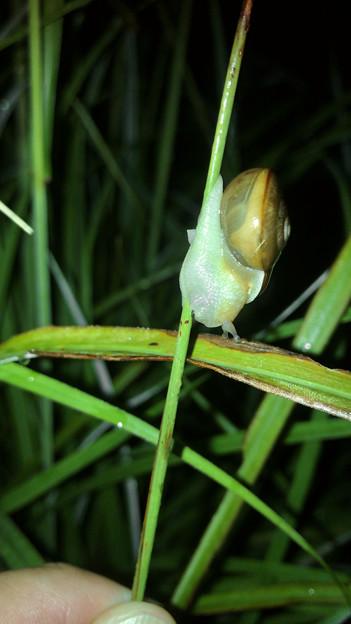 細い草に掴まっていたカタツムリ - 1