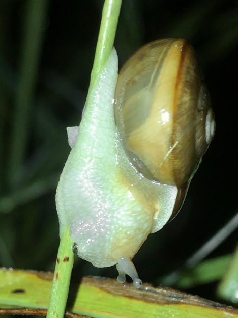 細い草に掴まっていたカタツムリ - 2
