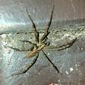 Photos: 黒い模様のある蜘蛛