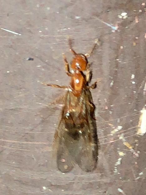 Photos: 飴色の小さな…ハチ? - 3