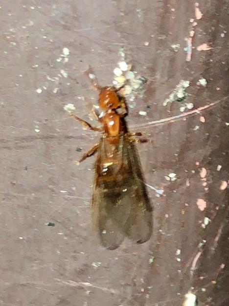 Photos: 飴色の小さな…ハチ? - 4
