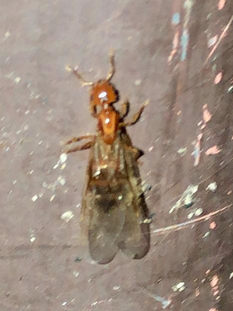 飴色の小さな…ハチ? - 5
