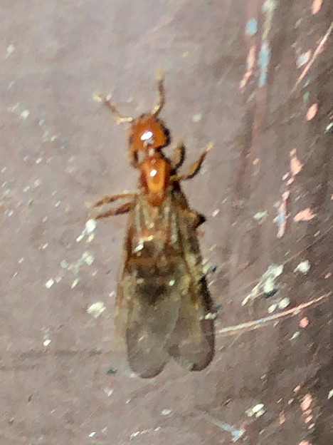 Photos: 飴色の小さな…ハチ? - 5