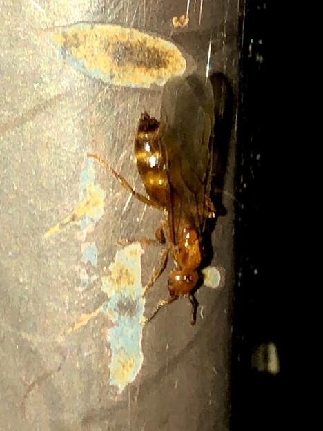 Photos: 飴色の小さな…ハチ? - 12