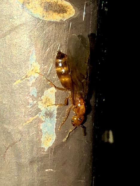 飴色の小さな…ハチ? - 13
