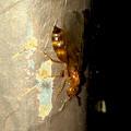Photos: 飴色の小さな…ハチ? - 13