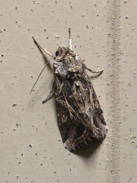 あまり見かけない模様の蛾