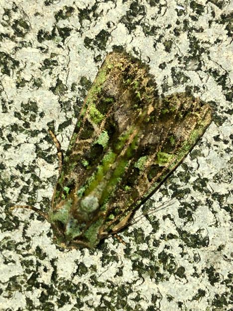 緑色の苔がついてるような蛾 - 1