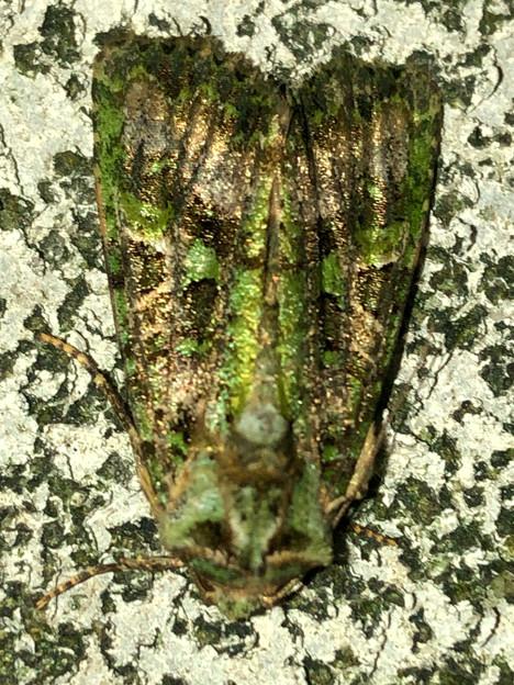 緑色の苔がついてるような蛾 - 2