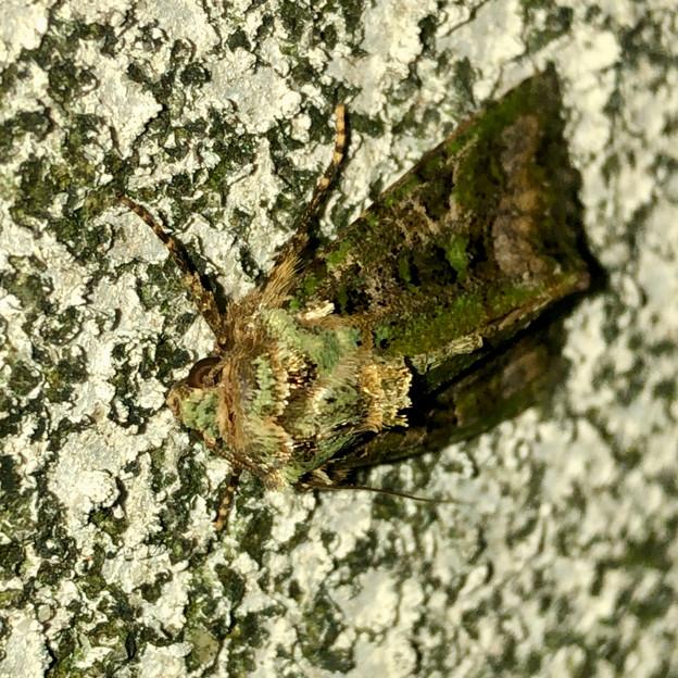 緑色の苔がついてるような蛾 - 3