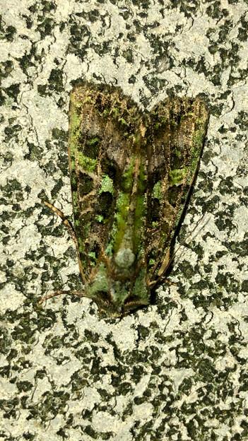 緑色の苔がついてるような蛾 - 4
