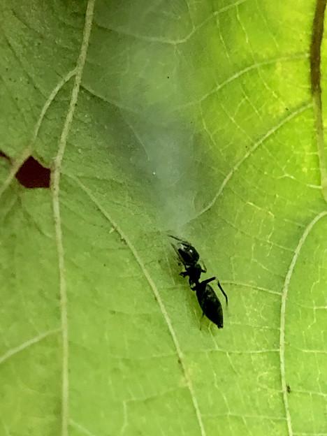 巣に入るアリグモのメス - 2