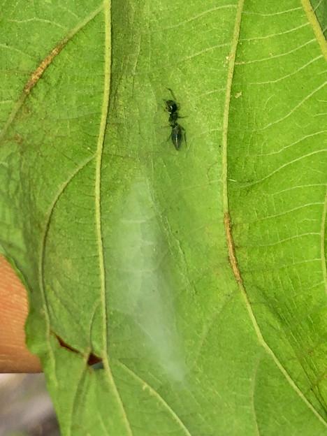 Photos: 巣に入るアリグモのメス - 4