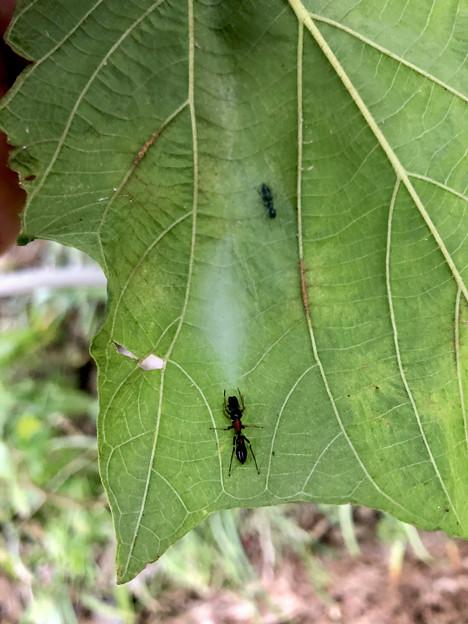葉っぱの裏にあるアリグモの巣 - 1
