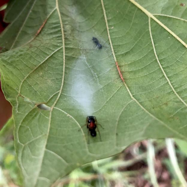 Photos: 葉っぱの裏にあるアリグモの巣 - 3