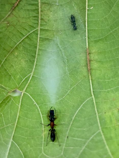 Photos: 葉っぱの裏にあるアリグモの巣 - 2