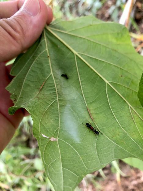 葉っぱの裏にあるアリグモの巣 - 4