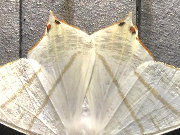 蝶みたいな模様のあるウスキツバメエダシャク - 3:模様のアップ