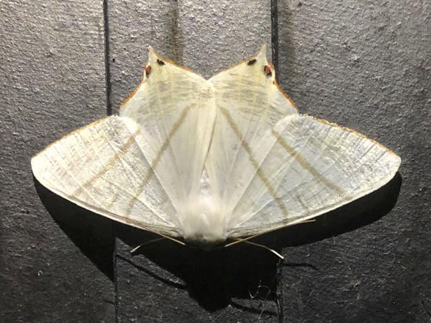 蝶みたいな模様のあるウスキツバメエダシャク - 2