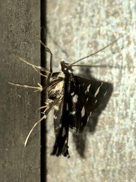 水玉模様の蛾「シロモンノメイガ」? - 4