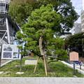 Photos: リニューアル直後で賑わう久屋大通公園 - 35:小袖懸けの松