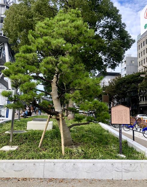 リニューアル直後で賑わう久屋大通公園 - 36:小袖懸けの松