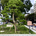 Photos: リニューアル直後で賑わう久屋大通公園 - 36:小袖懸けの松