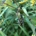 Photos: マメ科の草に沢山集まってたミナミアオカメムシの幼虫 - 1