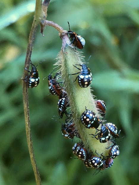 マメ科の草に沢山集まってたミナミアオカメムシの幼虫 - 3