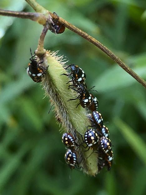 マメ科の草に沢山集まってたミナミアオカメムシの幼虫 - 4